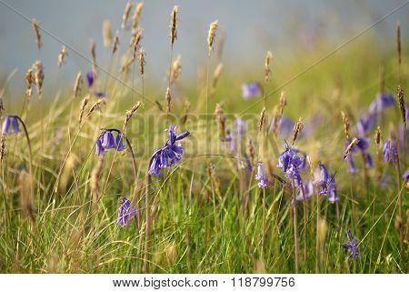 Purple Wild Hyacinths On The Isle Of Sky, Scotland