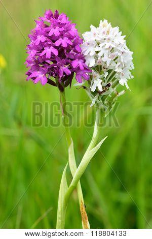 Colour variants of pyramidal orchid (Anacamptis pyramidalis)