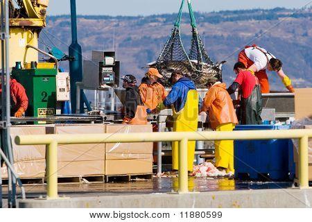 Fishermen weighing the catch at Homer, Alaska harbor