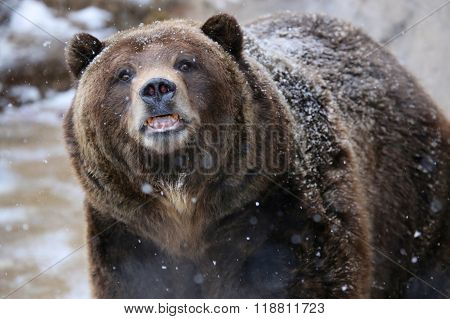 Grizzly Bear in Snow Yellowstone National Park