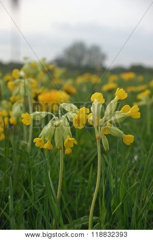 Cowslips In Meadow