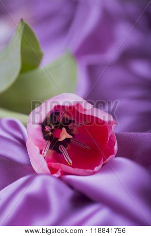 Pink Tulip On Purple Satin Fabric Folds
