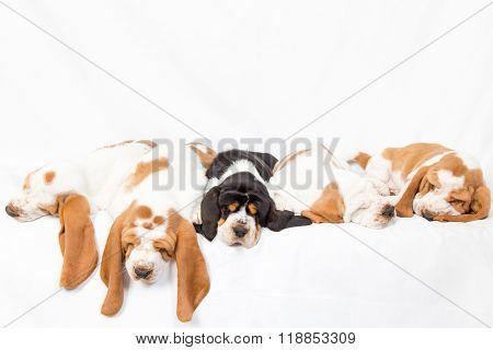 Basset Hound Dogpile