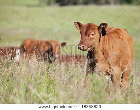Angus calf