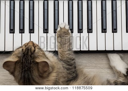 Siberian Forest Cat playing MIDI controller keyboard synthesizer