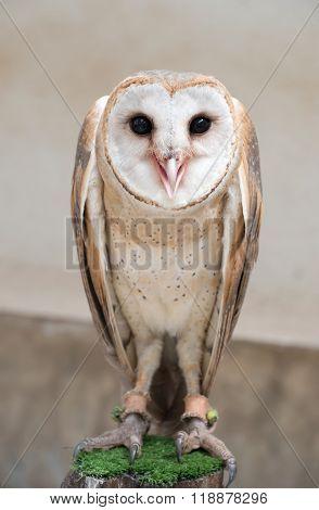 Common Barn Owl ( Tyto Albahead )