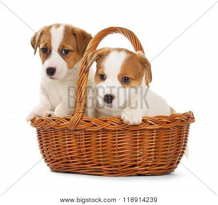 Jack Russell Terrier Puppies Sitting In A Basket.