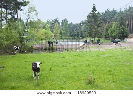 The  Herd Of Cows Is Grazed On A Meadow