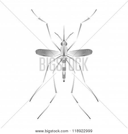 Fever mosquito species aedes aegyti isolated on white background
