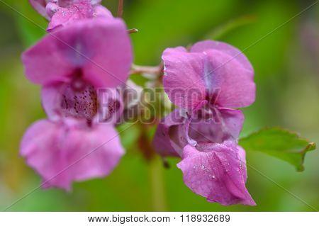 Indian balsam (Impatiens glandulifera)