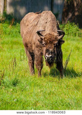 European wood bison in Bialowieza primeval forest