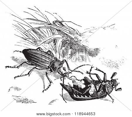 Beetle devouring a golden beetle, vintage engraved illustration. Magasin Pittoresque 1876.