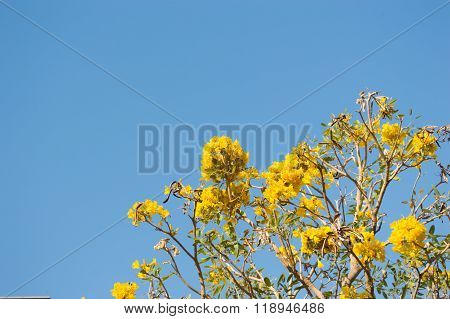Silver Trumpet Tree, Tree Of Gold