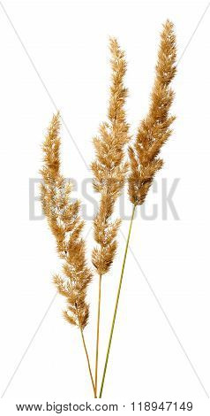 Bunch Of Bush Grass Panicles