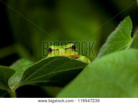 Green Frog Curious Peek
