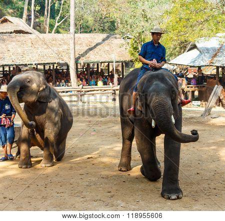 Chiangmai Thailand - February 20 : mahout ride elephant and elephant is dancing on February 20 2016 at Mae Sa elephant camp Chiangmai Thailand
