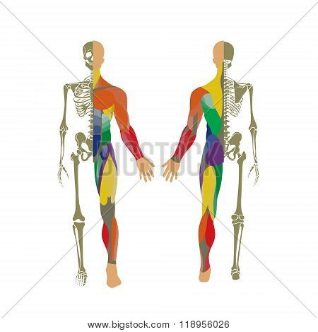 Human bony and muscular system. Front and rear view. Anatomy board.