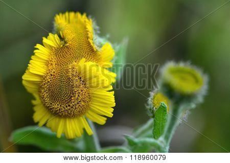 Common fleabane (Pulicaria dysenterica) deformed flower