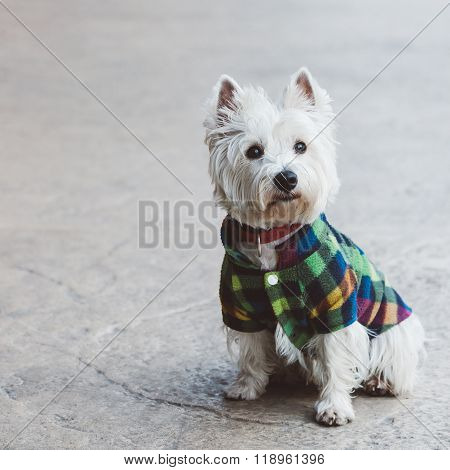 Cut west terrier