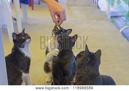 Cats Beg For Food.