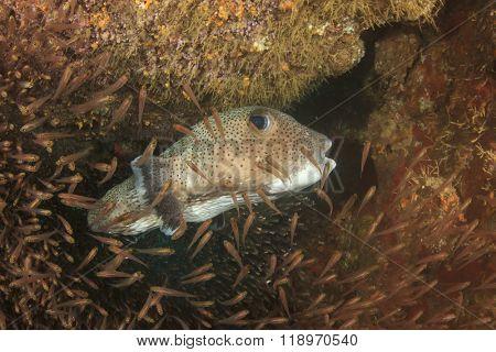 Porcupinefish and glassfish