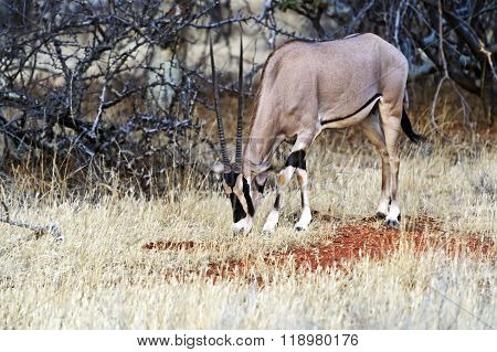 Oryx Gazella In Africa