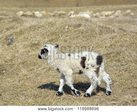 Little lamb standing alone on field in early spring