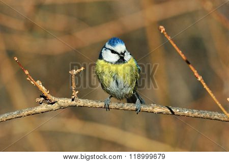 Ordinary blue tit, blue tit.