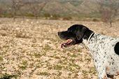 Black and white pointer hunting dog in full alertness poster