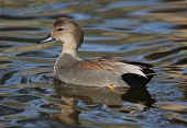 A beautiful gadwall drake enjoys the afternoon in a freshwater pond. poster
