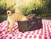 a cute baby pug chihuahua mix puppy looking into a wicker picnic basket and licking her face during summer maybe on the 4th of july holiday toned with a retro vintage instagram filter app or action poster