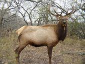 trophy antlers on a wild bull elk or red deer - a hunter's dream poster