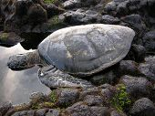 green sea turtle rest before making its way to the ocean. poster
