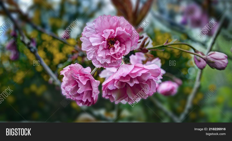 Prunus Serrulata Image Photo Free Trial Bigstock