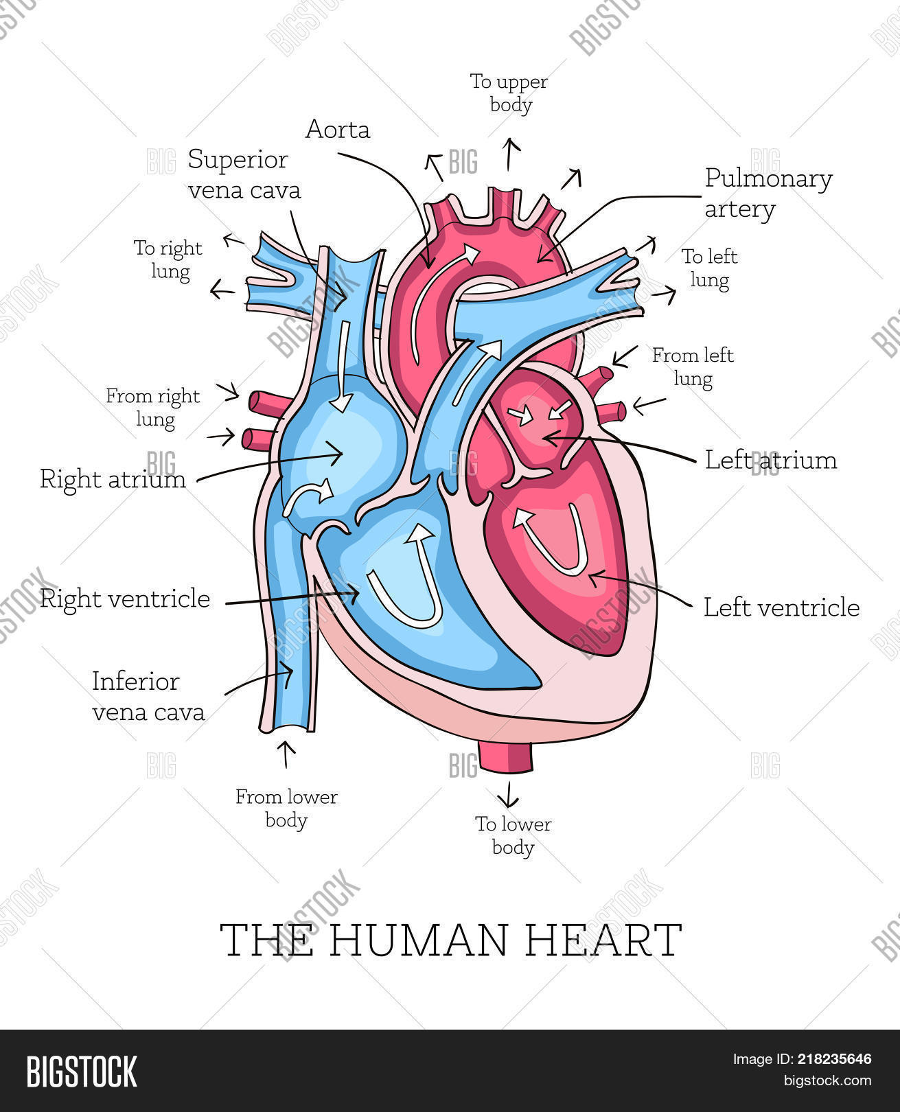 Hand drawn illustration human vector photo bigstock hand drawn illustration of human heart anatomy educational diagram showing blood flow with main parts ccuart Gallery