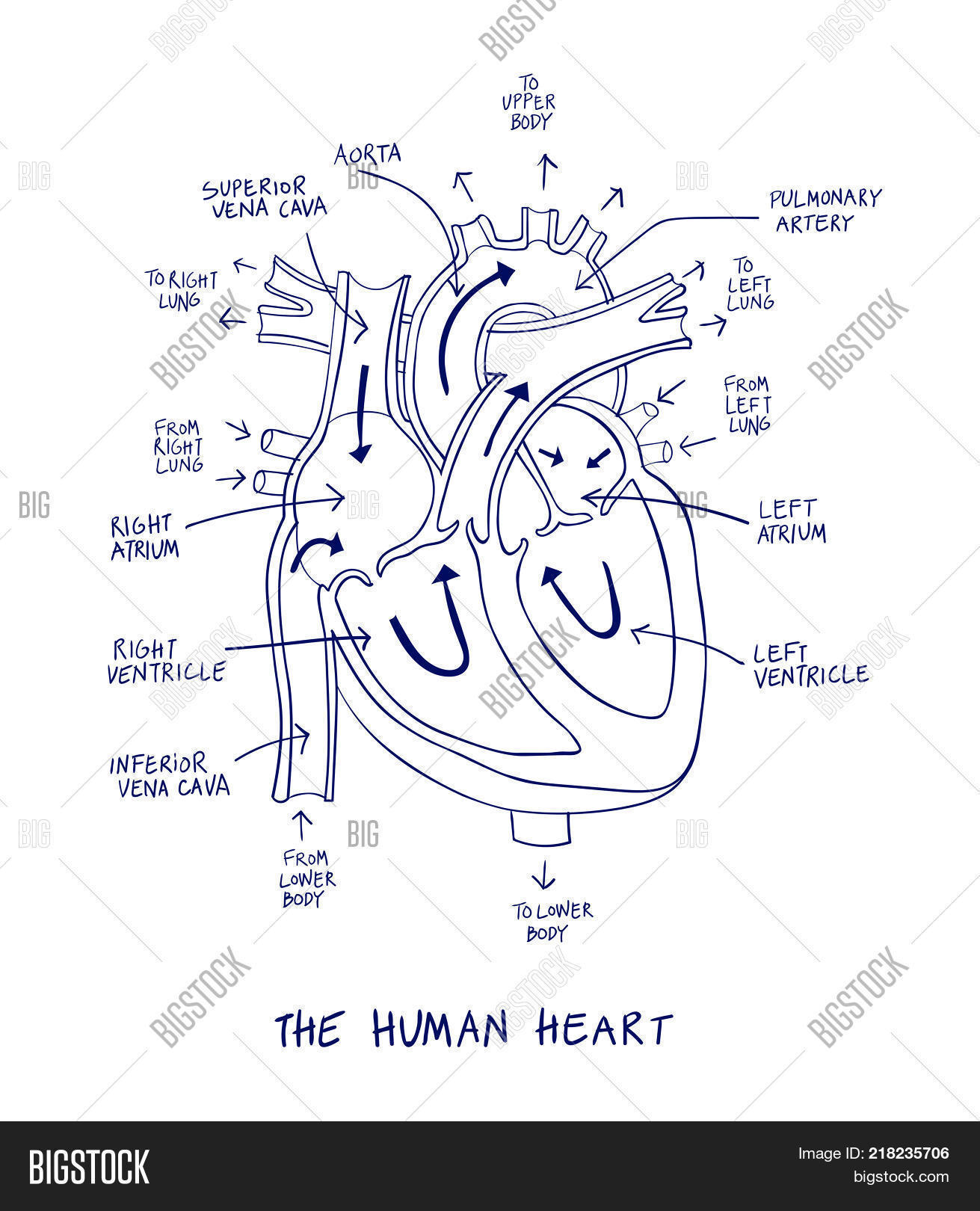 Sketch Human Heart Vector Photo Free Trial Bigstock