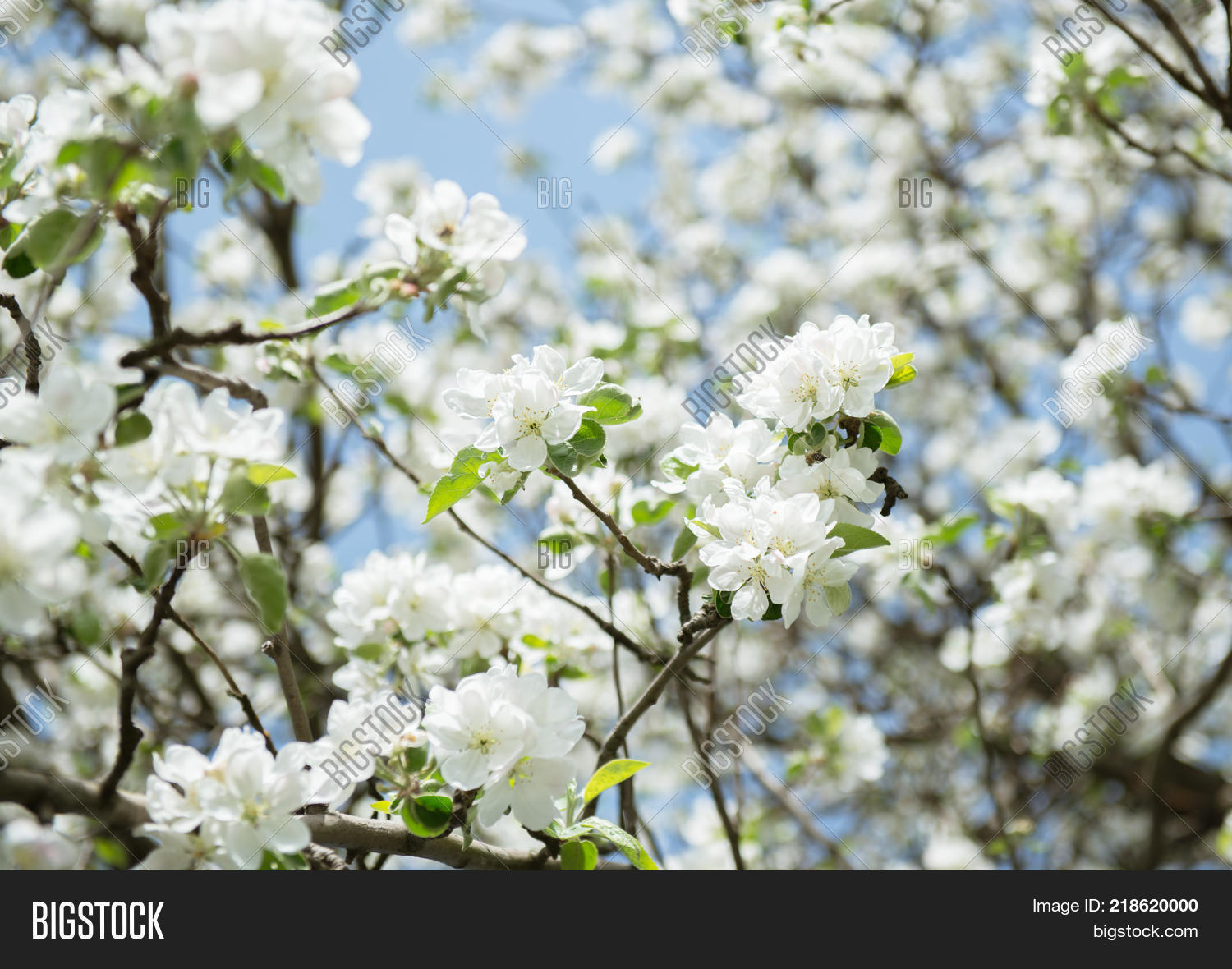 Apple blossoms image photo free trial bigstock blooming apple tree branch with large white flowers flowering spring mightylinksfo