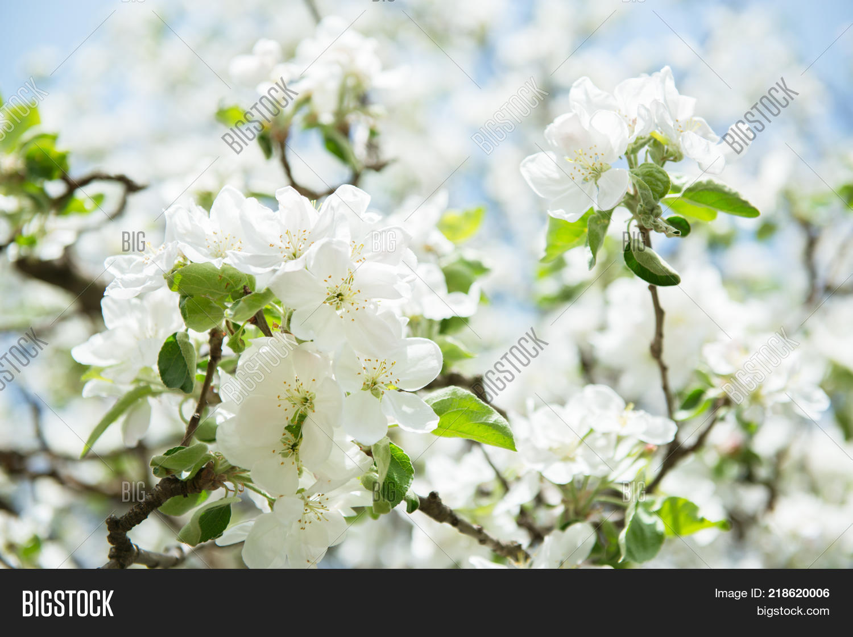Apple Blossoms Blooming Apple Tree Image Photo Bigstock