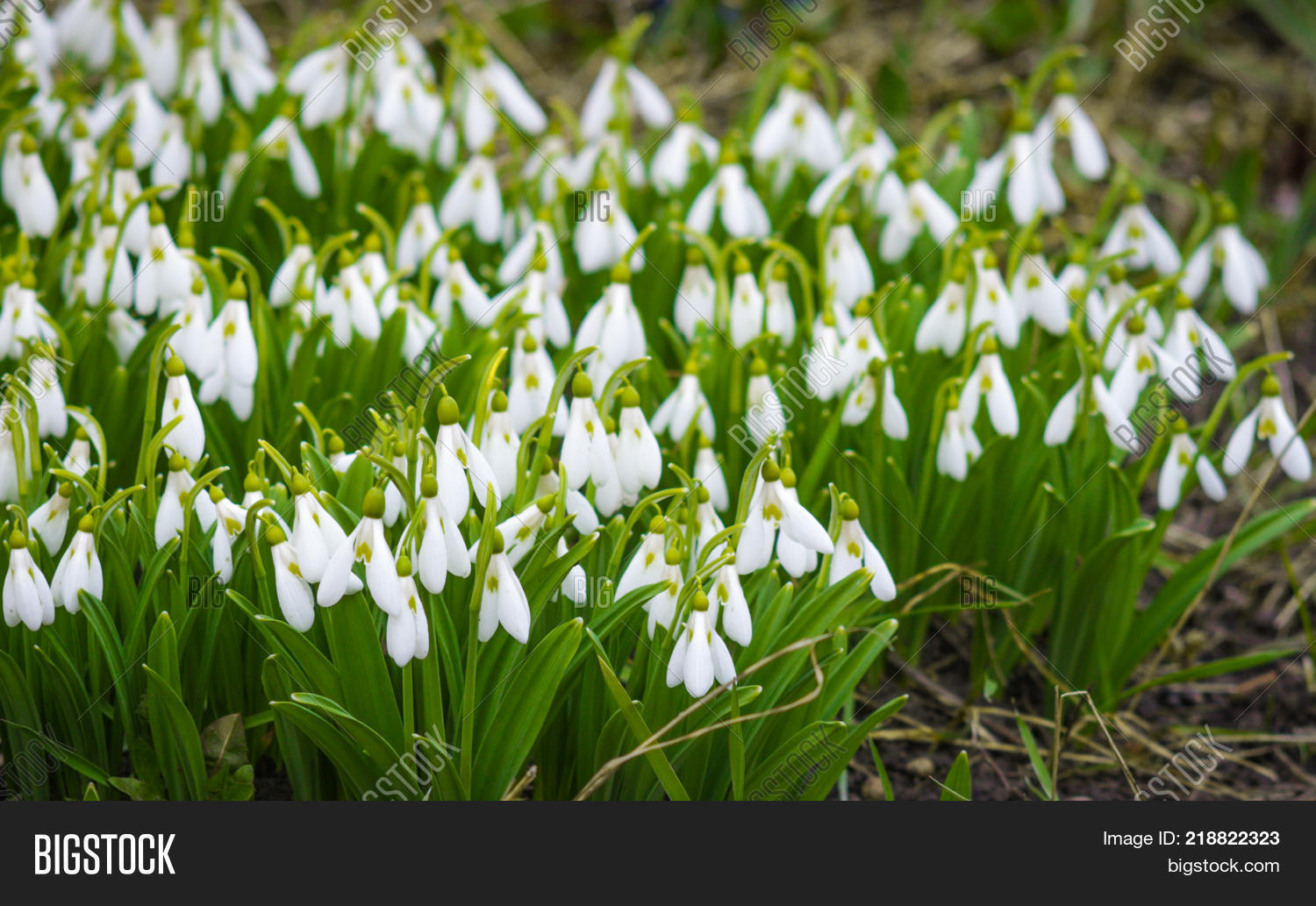 First Flowers Spring Image Photo Free Trial Bigstock