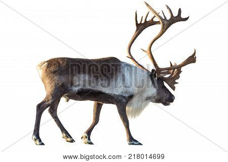 Reindeer with huge antlers  isolated on the white background.