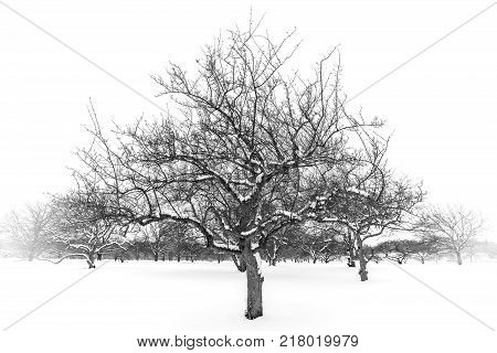 Black and white trees in a winter field coveredin snow after a storm. Fine art nature image