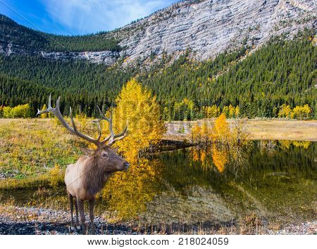 Concept of active and ecological tourism. Canadian deer with branched horns resting on the shore of the lake. Lake Abraham is the colossal pond in the Rockies of Canada