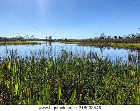 tall reeds and swamp lilies on the river shore