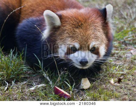Red Panda Shining Cat