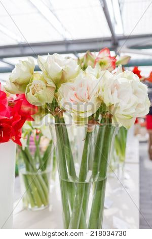 amaryllis flowers in the vase