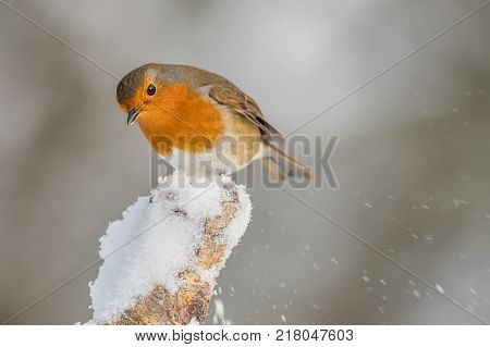 A close up of a robin perched on a snow covered post inquisitively look down and with snow on its beak
