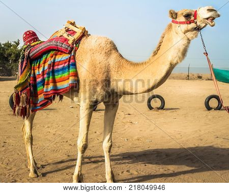 KUWAIT - DECEMBER 23, 2016 - A camel in the desert on December 23rd, 2016, in Kuwait.
