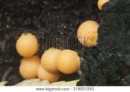Mushrooms (slime mould Lycogala terrestre) on an old stump