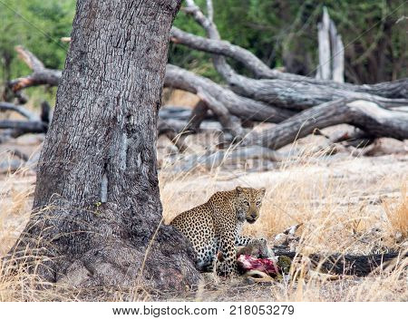 African Leopard (Panthera Pardus) next to a large tree with a kill in South Luangwa National Park Zambia