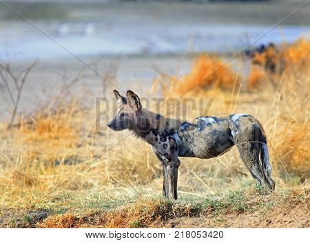 African Wild Dog (Painted Dog) - Lycaon pictus - standing looking alert on an elevated riverbank with the river n the background lit by golden morning sunlight. South Luangwa National Park Zambia